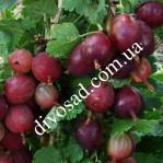 КРУПНОМЕРЫ. Плодовые деревья «Крыжовник БЕСШИПНЫЙ, 4 года»