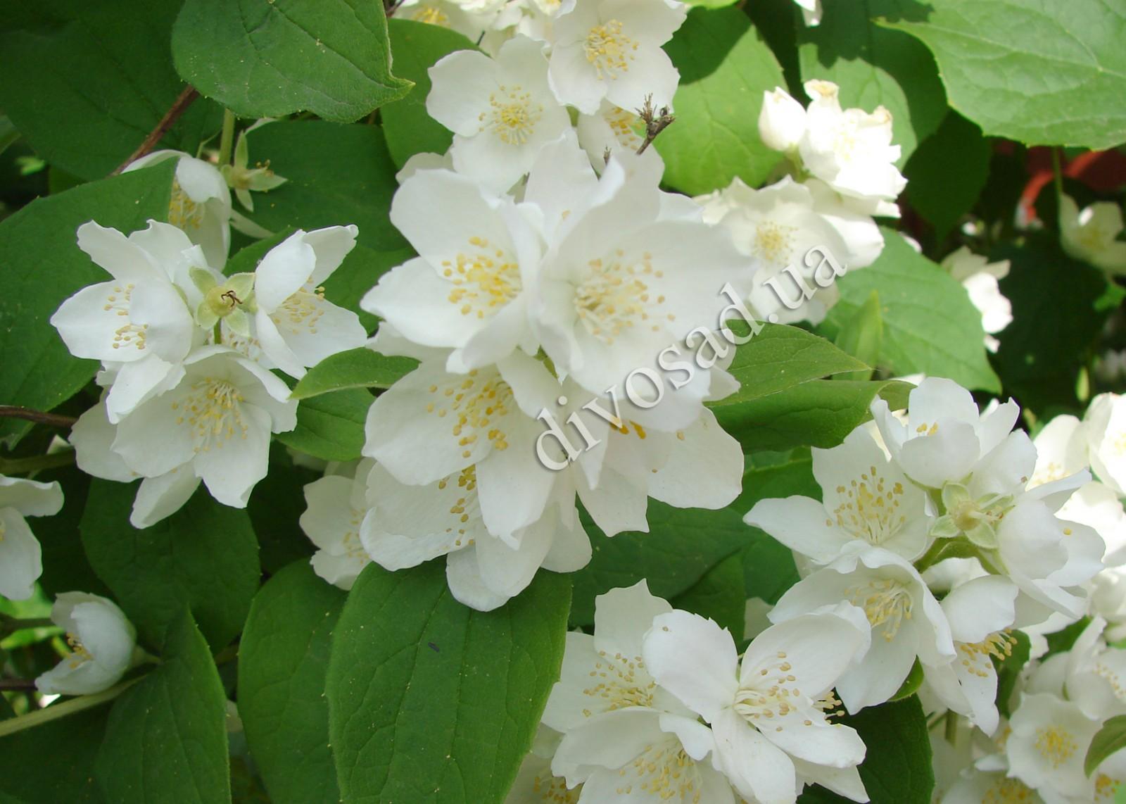 Жасмин каталог цветов фото