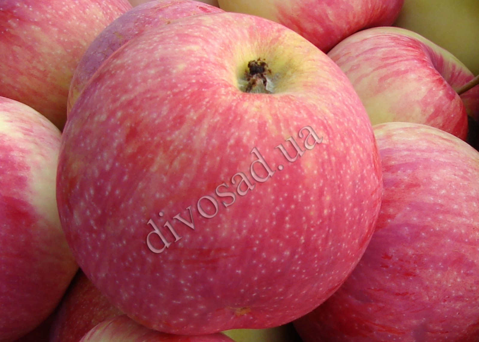 Яблоки Мельба картинки 2