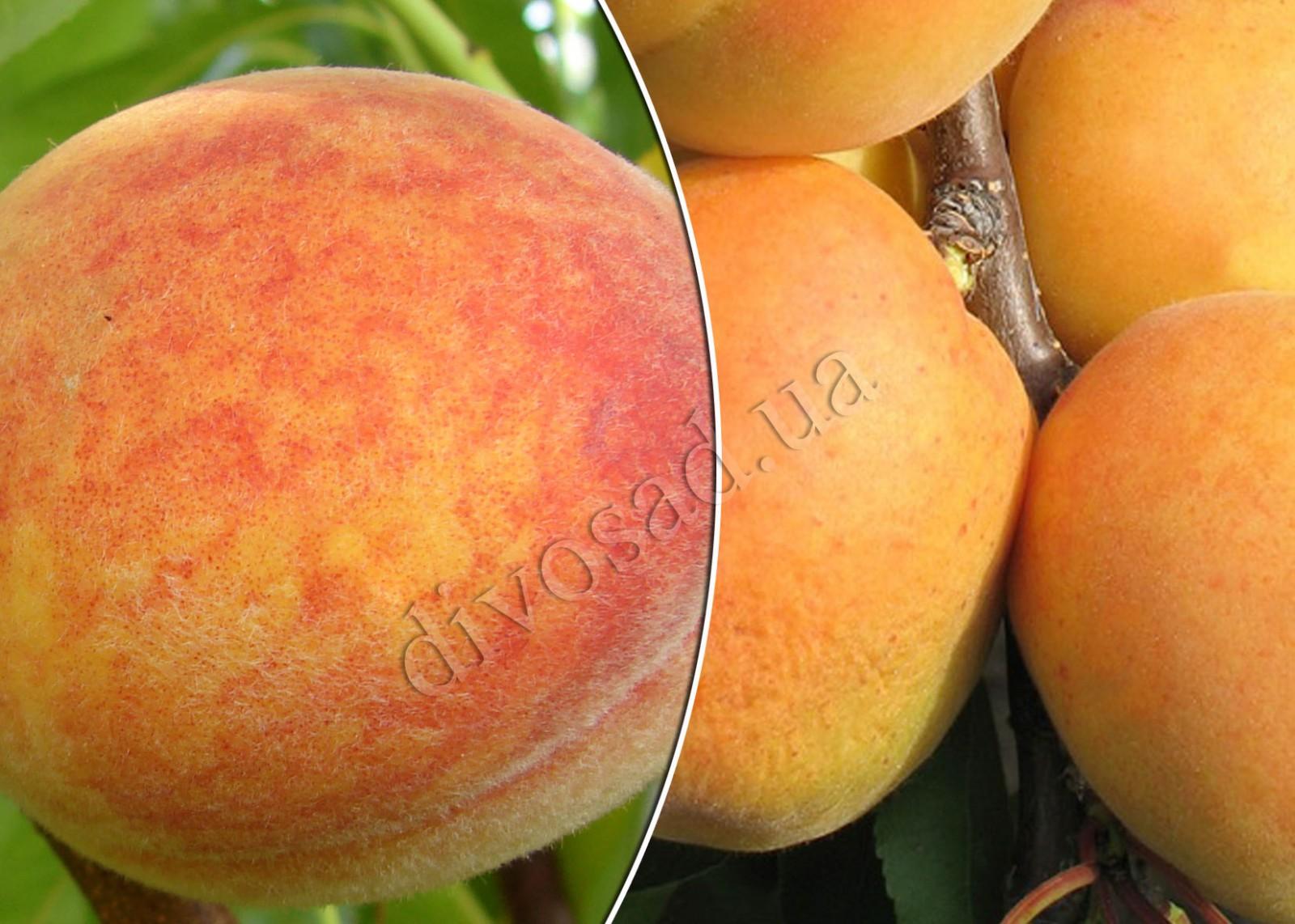 Абрикос сорт персиковый отзывы