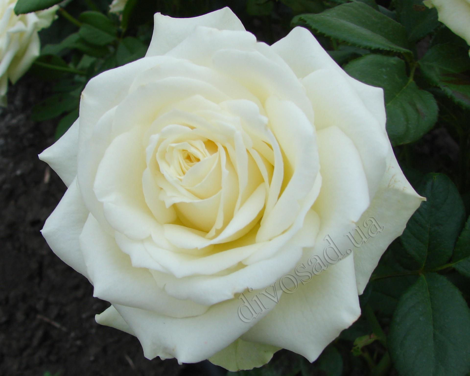 Роза кремового цвета