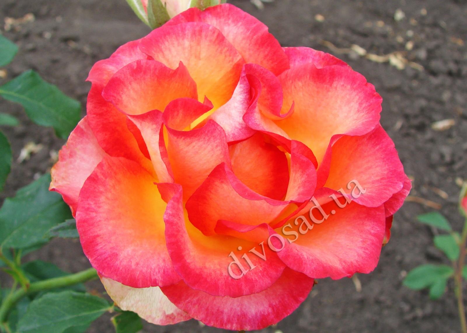 Роза легенда фото и описание