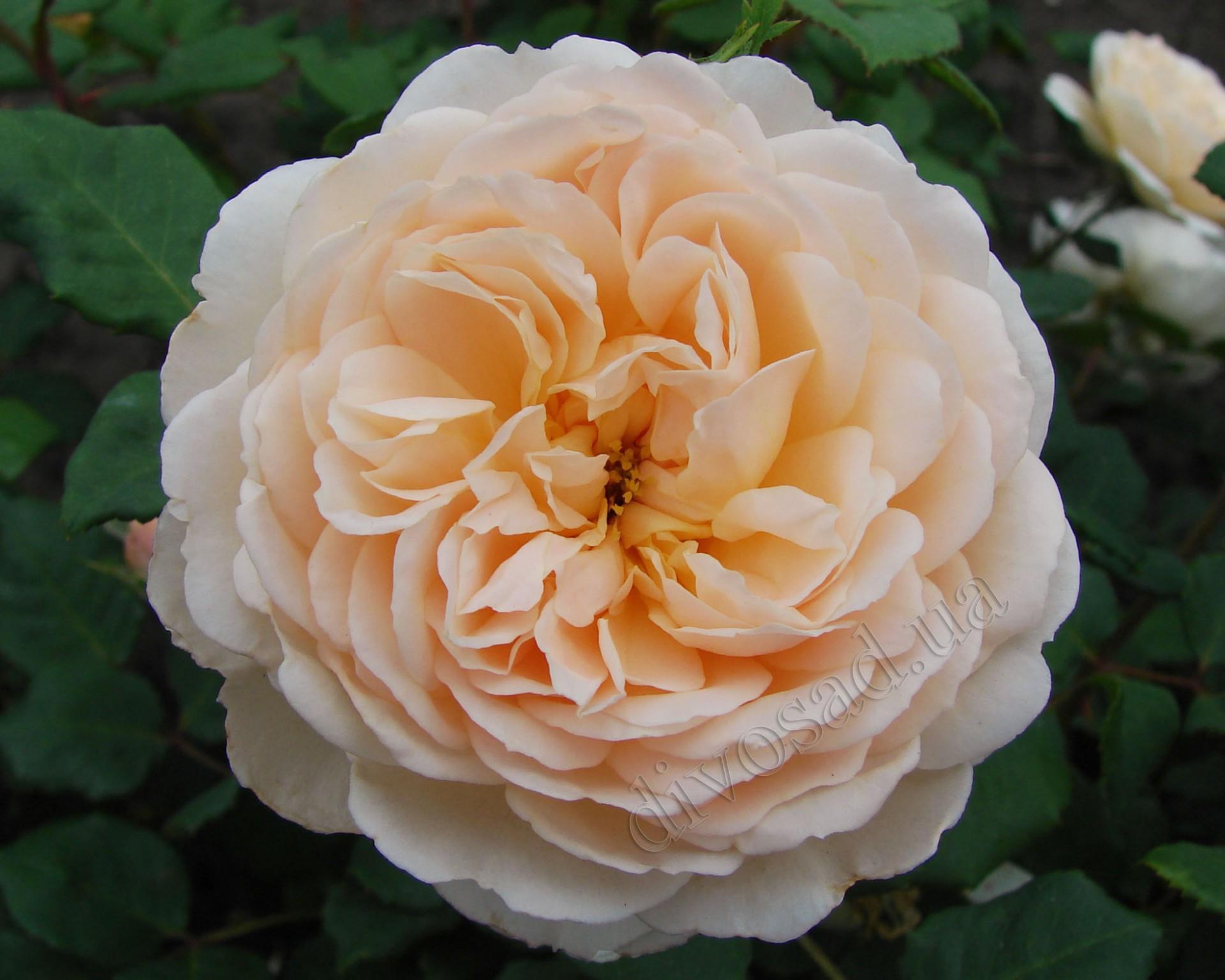 Розы английские желтые
