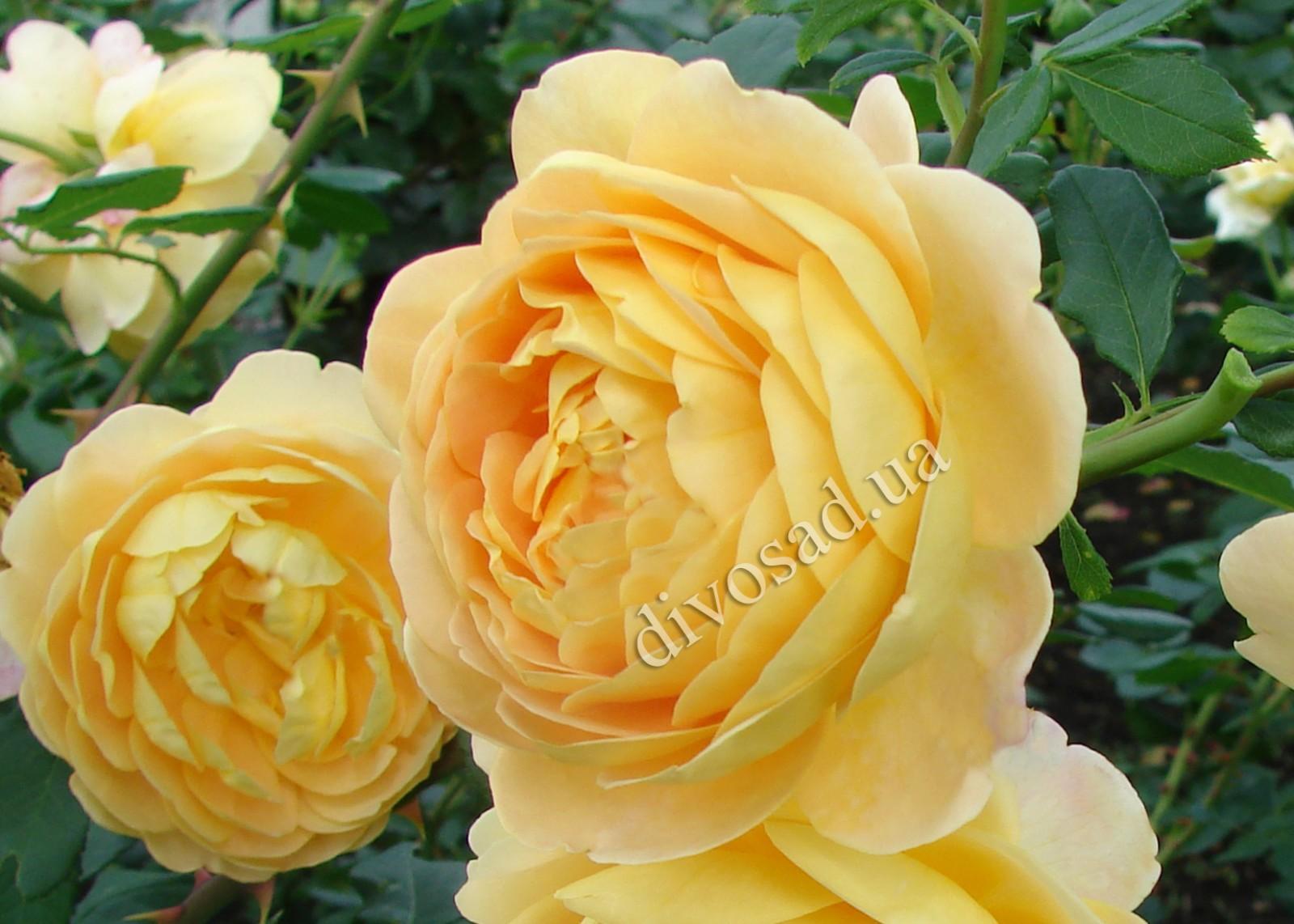 английская роза фото сорта