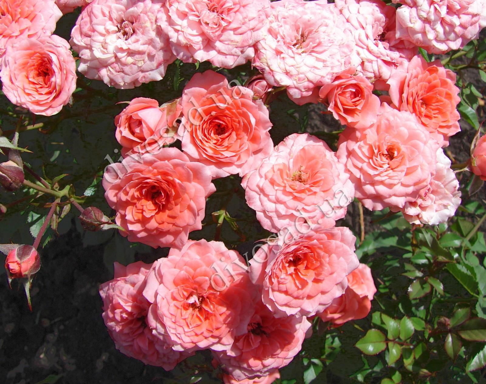 Роза миниатюрная фотографии 3