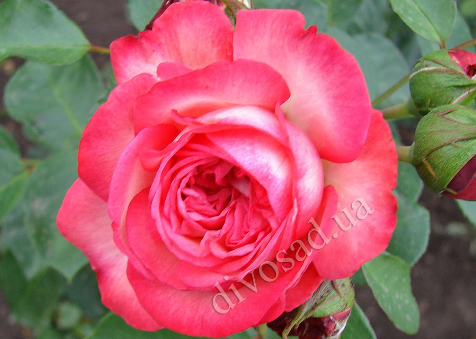 Плетистая роза антик 2