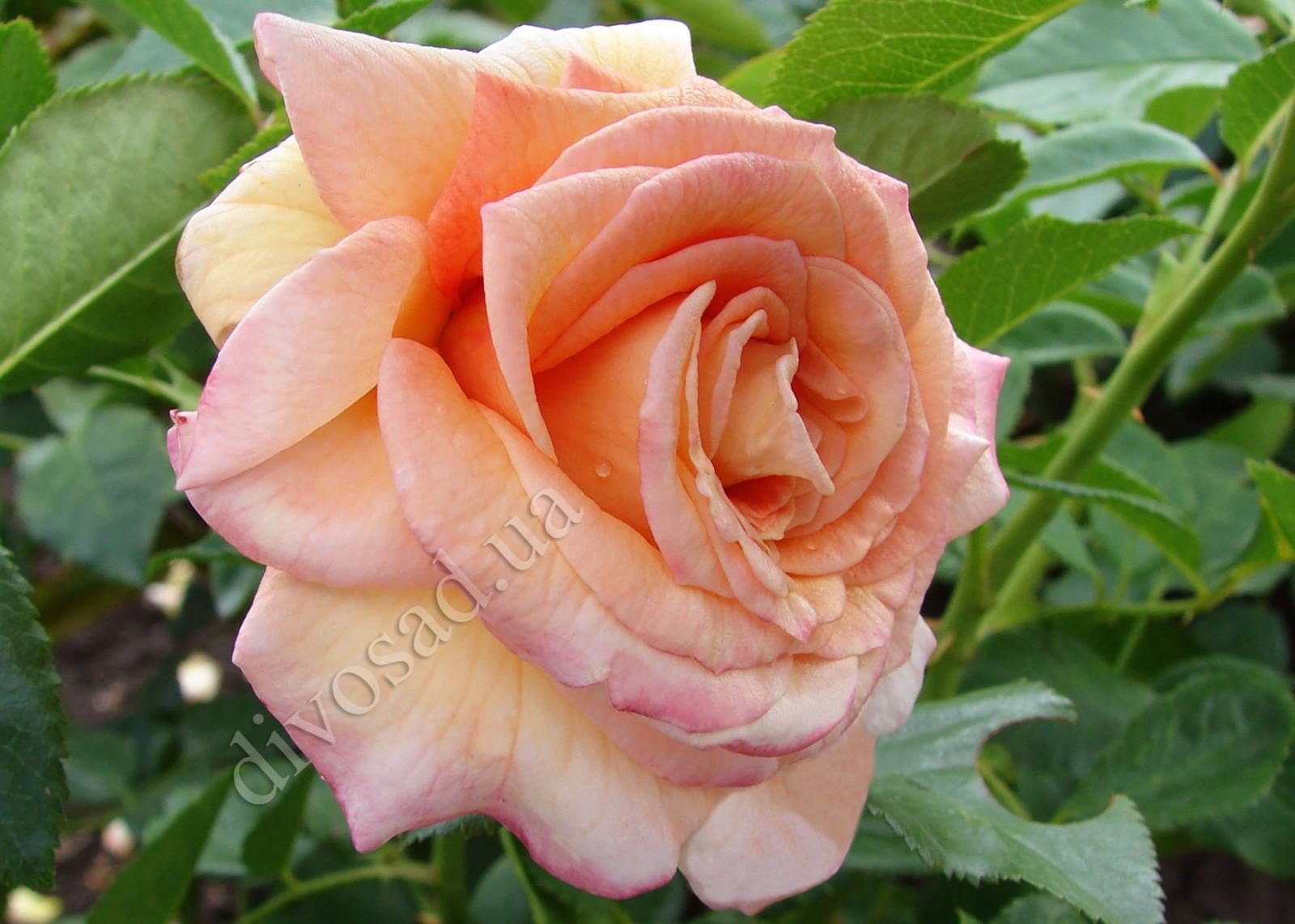 Роза плетистая барок 1