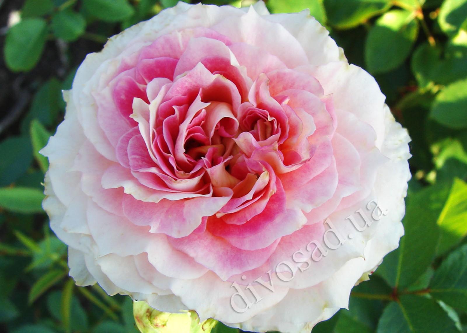 Роза плетистая цезарь фото 4