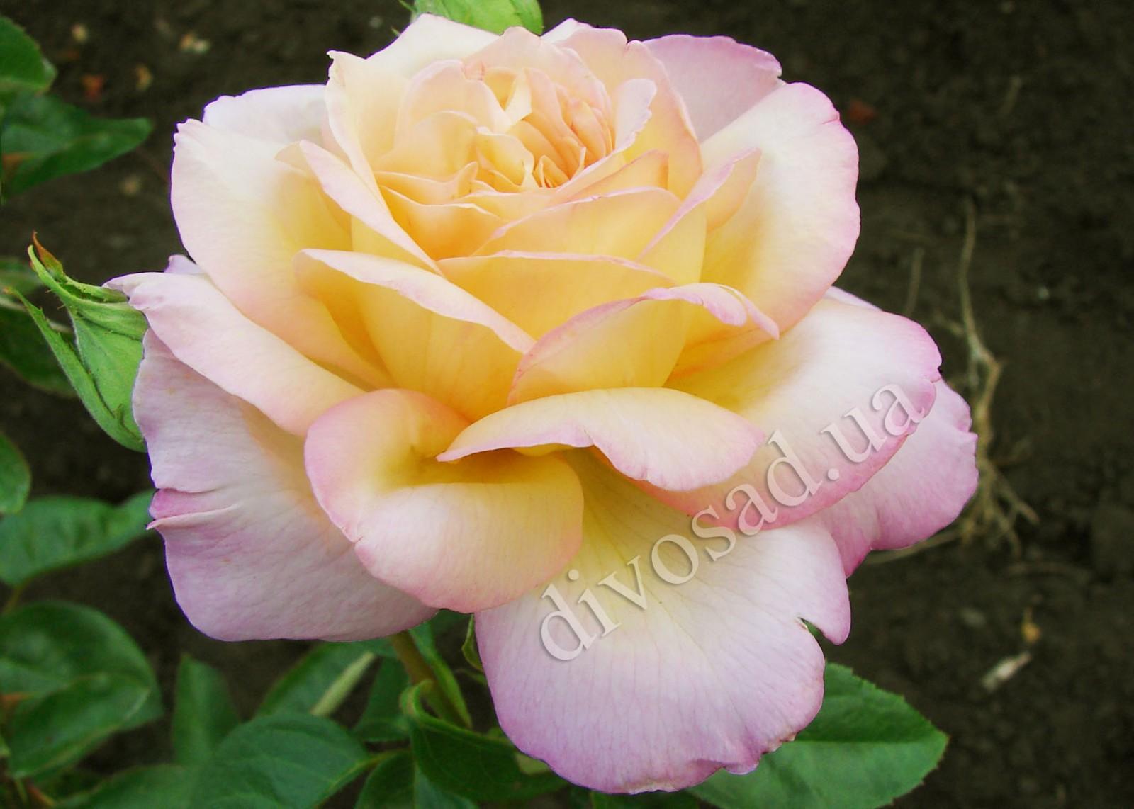Плетистая роза глория 1
