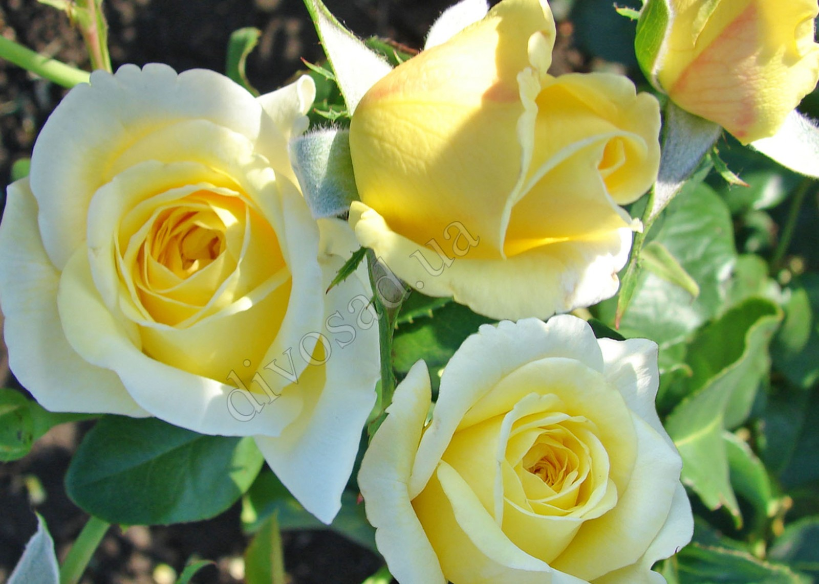 плетистая роза казино