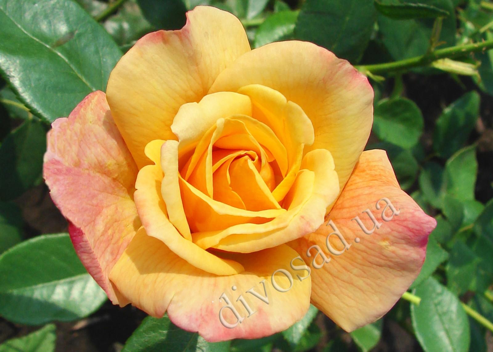 Роза компешн плетистая 1