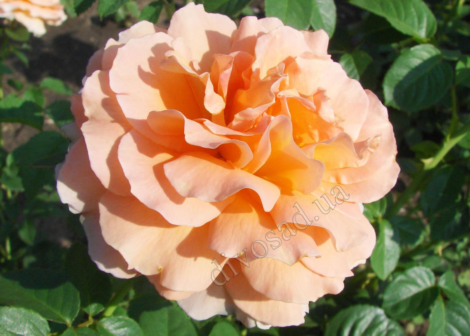 Плетистая роза polka 3