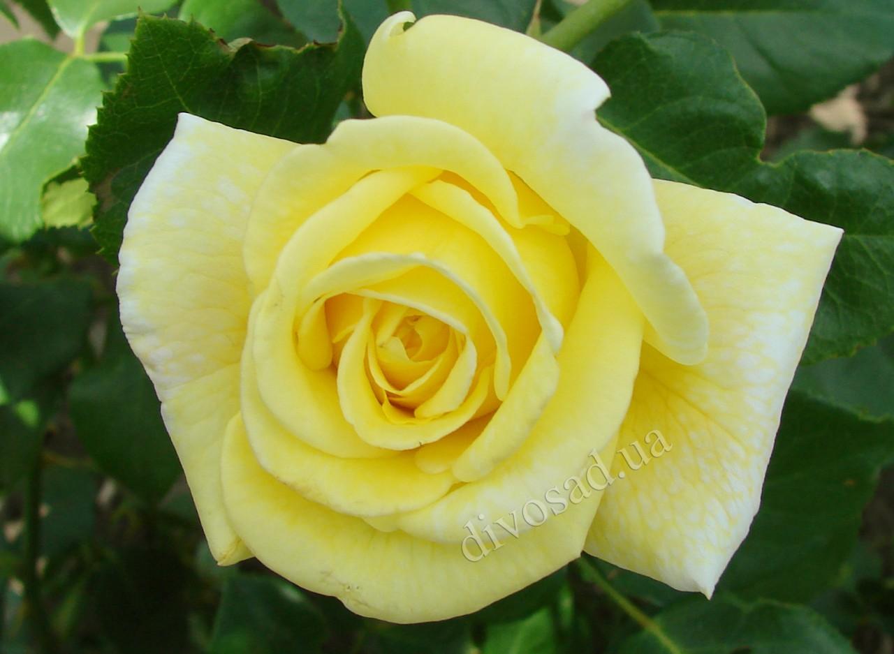 Казино сорт розы фото