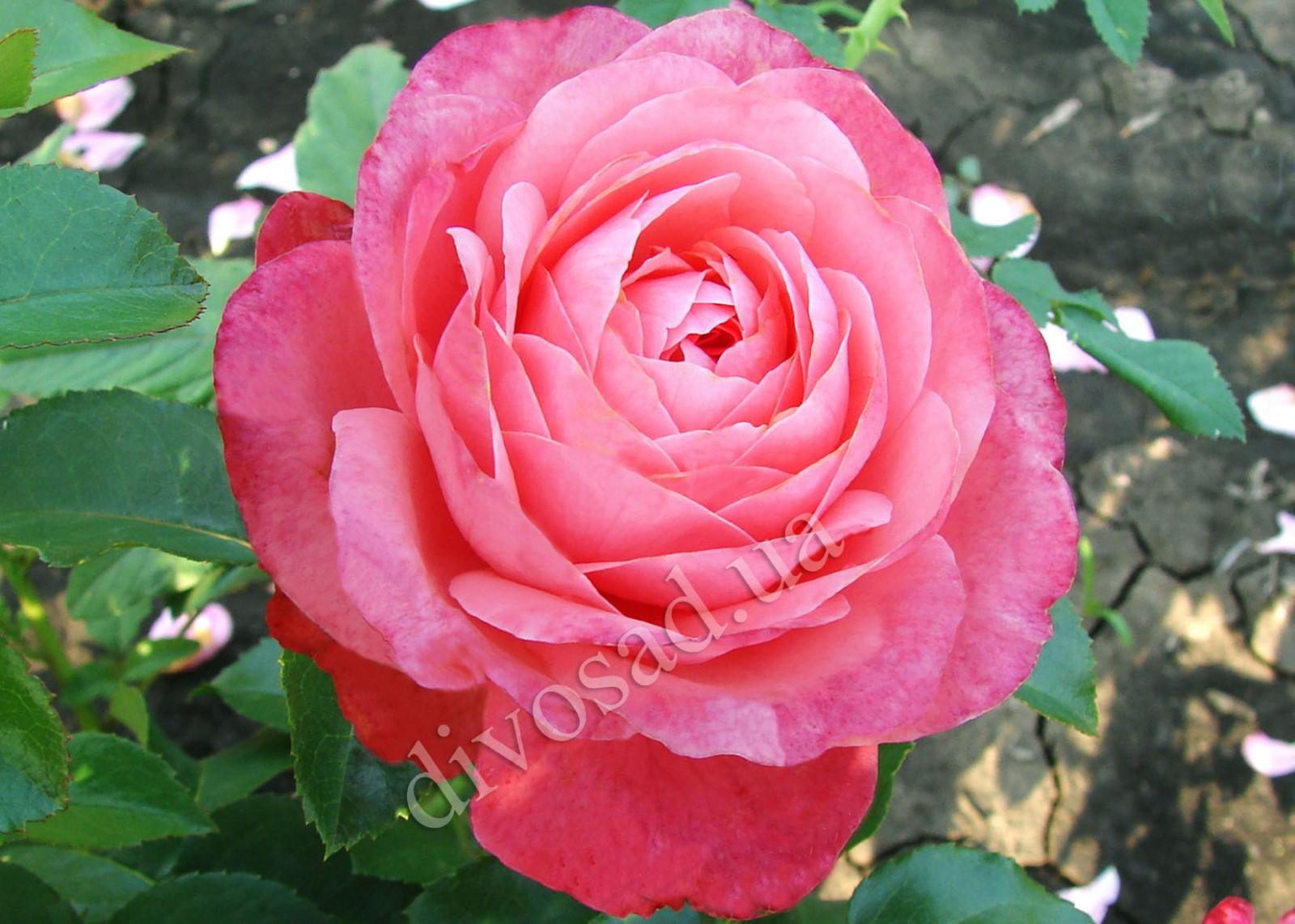 Роза плетистая розанна 1