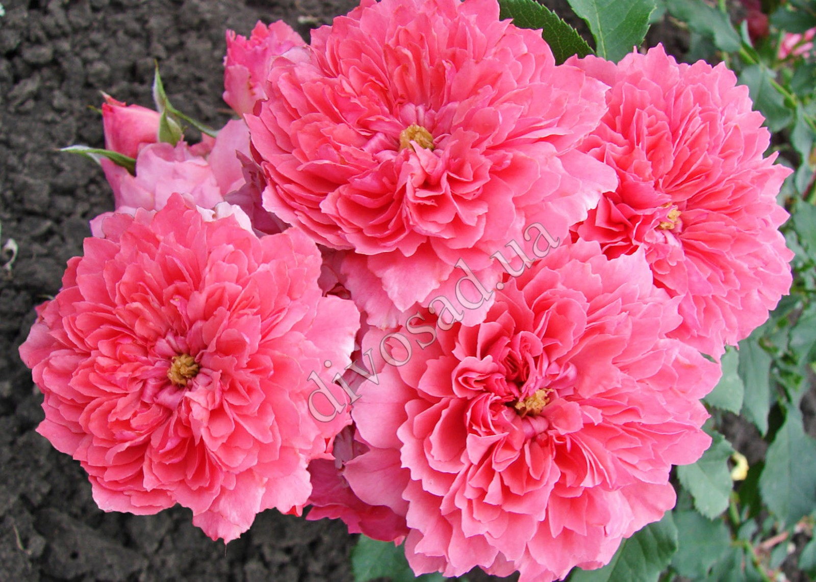 Rosarium uetersen роза плетистая 6