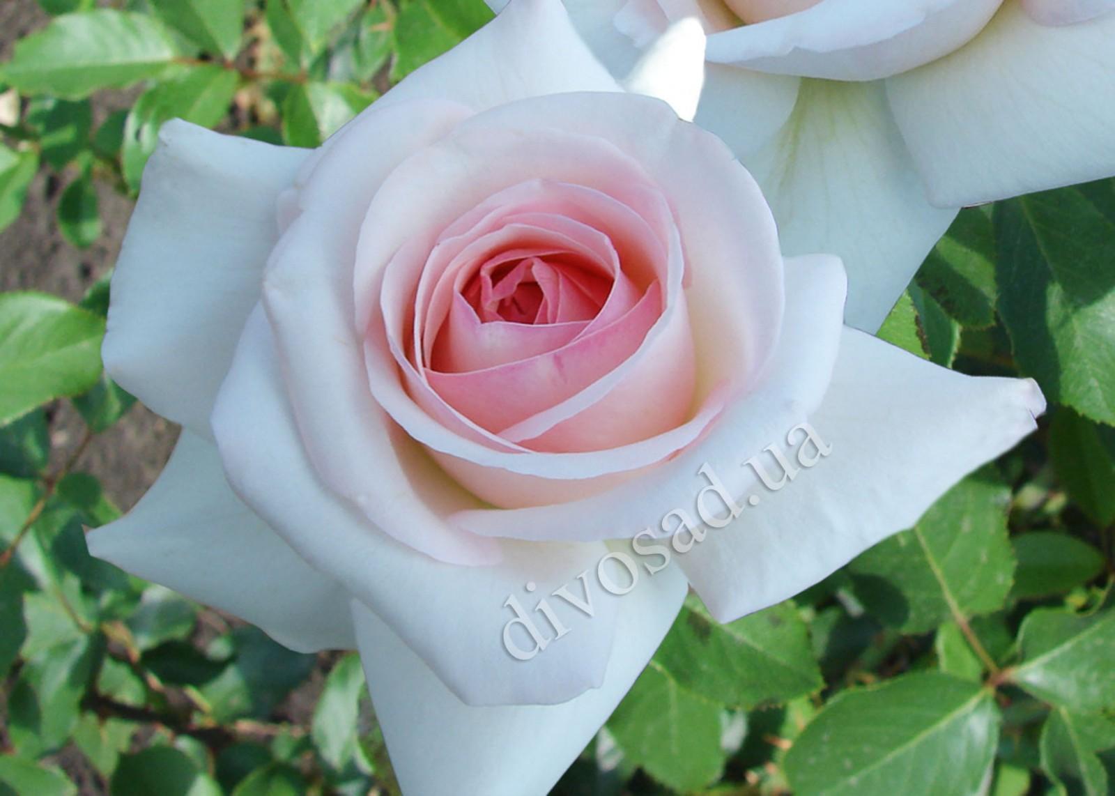 Роза шванензее плетистая 2