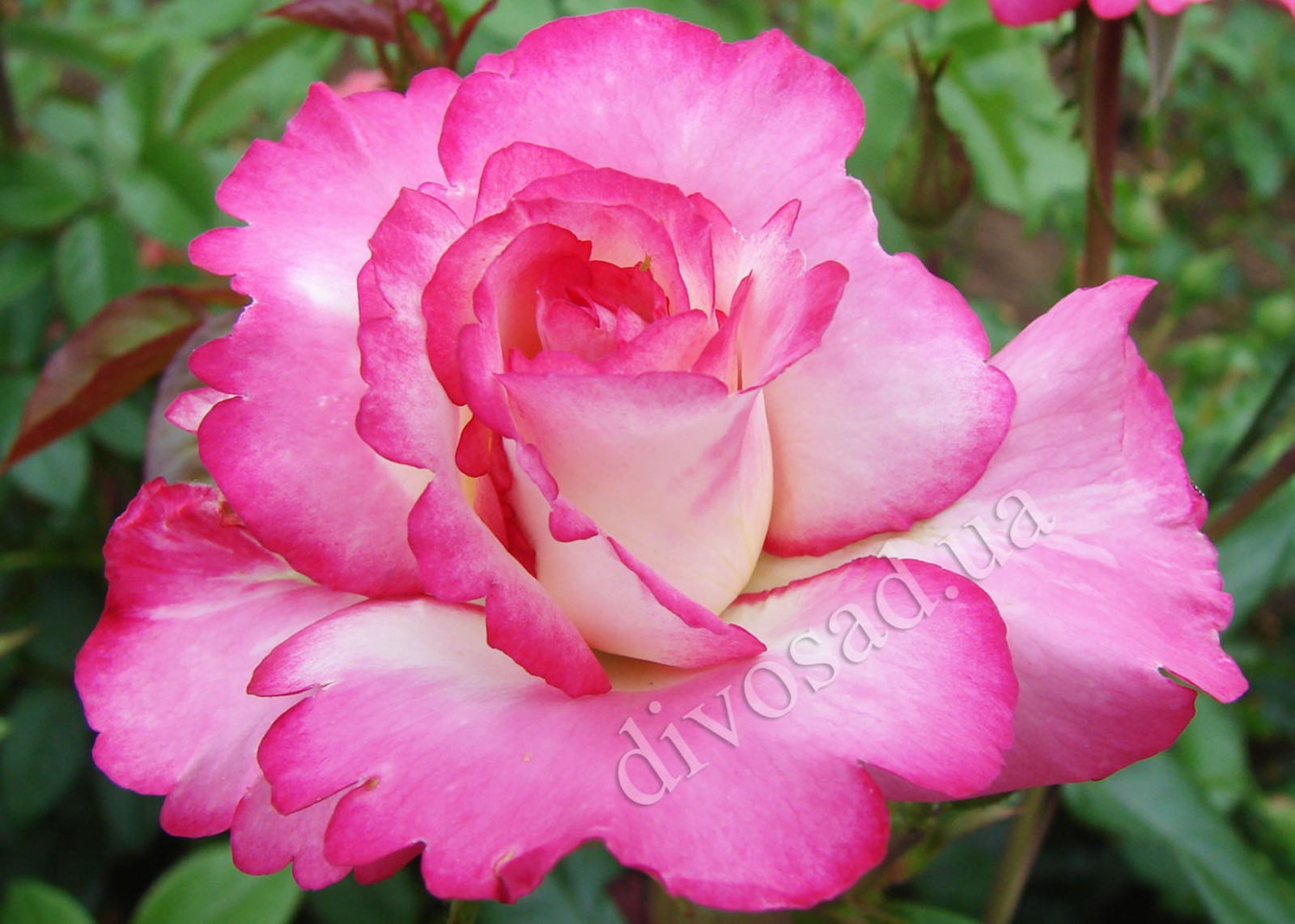 Хэндел роза плетистая 2