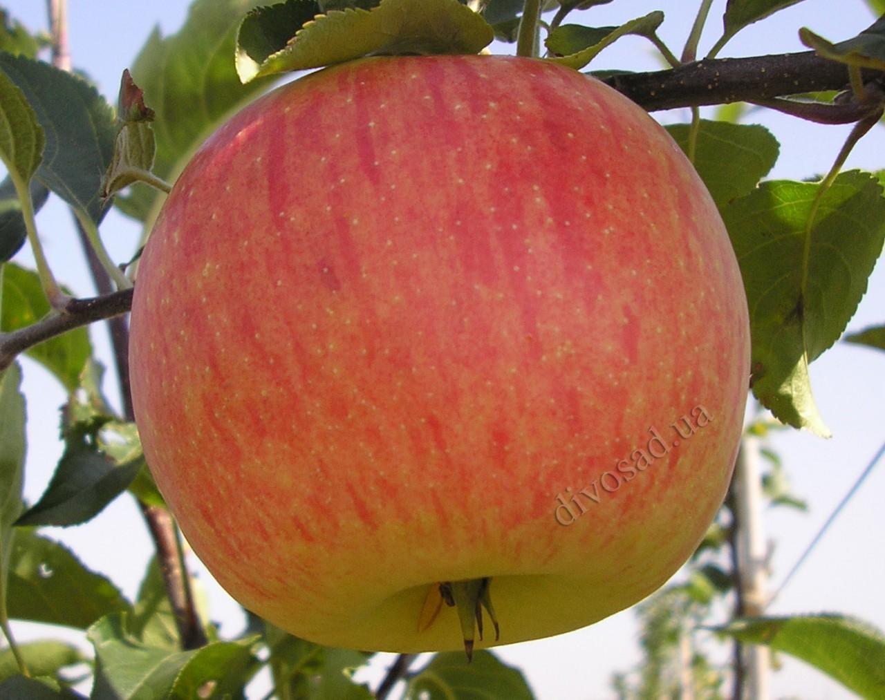 яблоня фото сорта