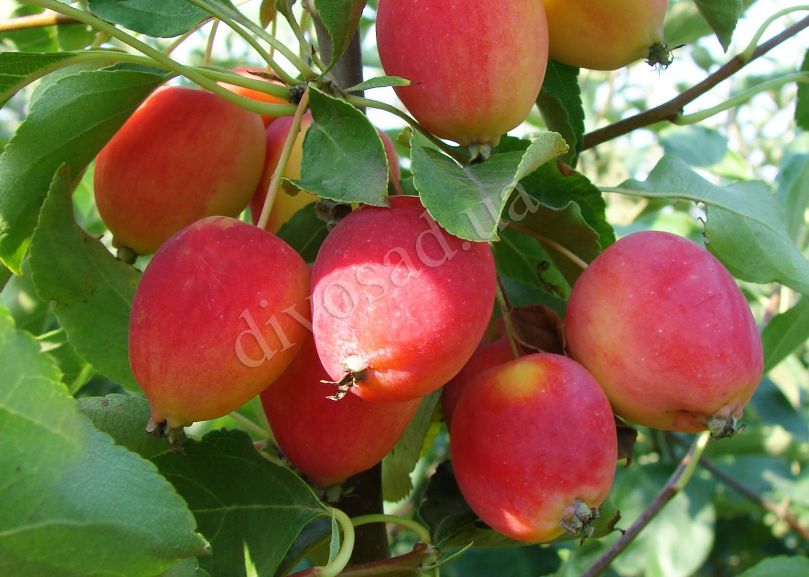 Яблоки Китайка картинки 3