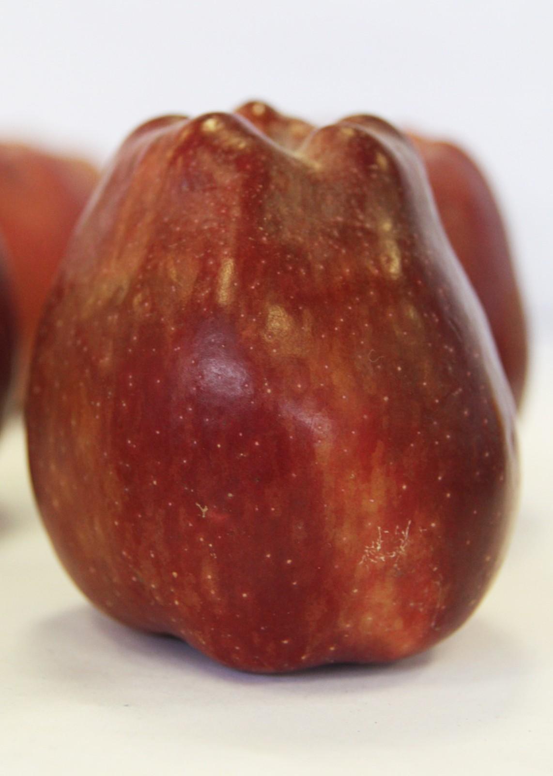 яблоня сорт ред чиф описание фото