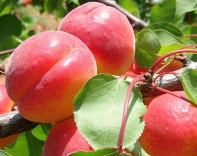 КРУПНОМЕРЫ. Плодовые деревья «Абрикос БИГ РЕД*,  3 года»