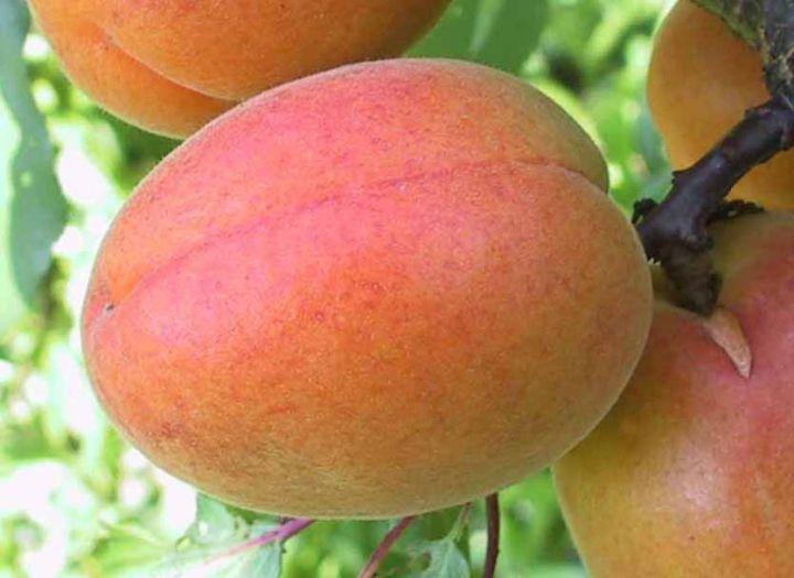 КРУПНОМЕРЫ. Плодовые деревья «Абрикос ЦЕГЛЕДИ БИБЕР, 4 года»