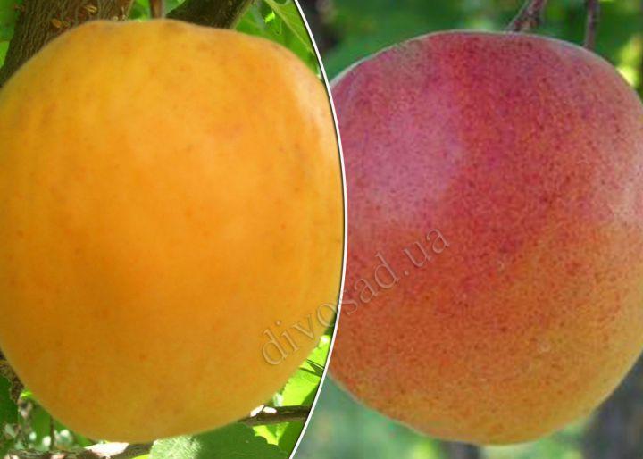 КРУПНОМЕРЫ. Плодовые деревья «Абрикос ГОЛД РИЧ+КРАСЕНЬ КИЕВА, Дерево-Сад, 4 года»