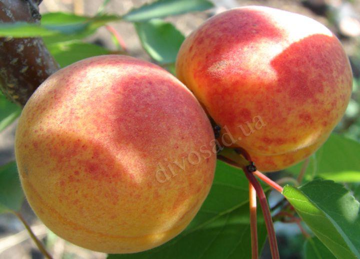 КРУПНОМЕРЫ. Плодовые деревья «Абрикос ОБОЛОНСКИЙ*, 3 года»