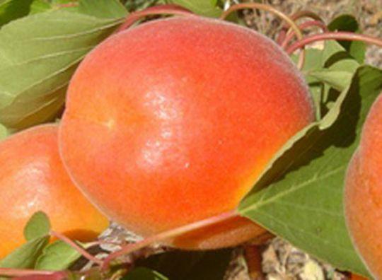 КРУПНОМЕРЫ. Плодовые деревья «Абрикос ПИНКОТ*, 3 года»