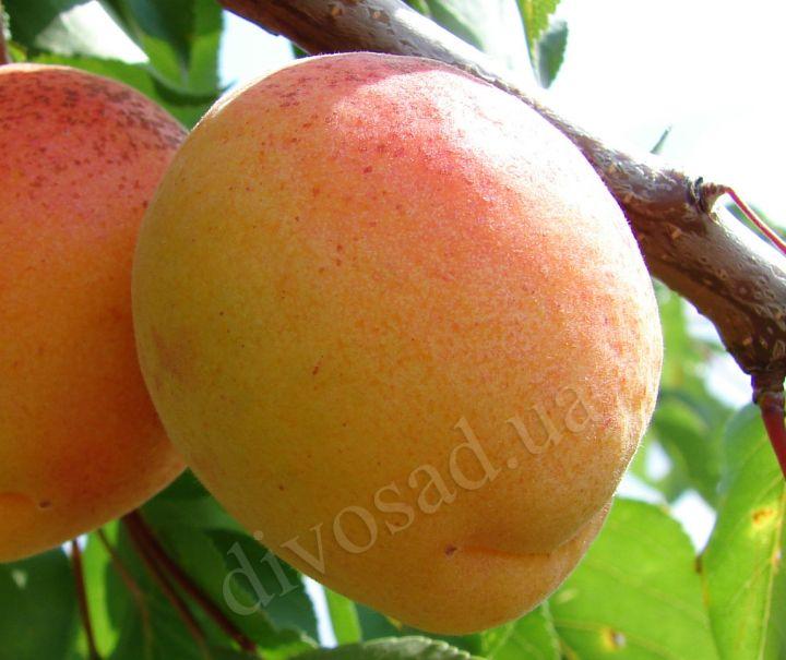 КРУПНОМЕРЫ. Плодовые деревья «Абрикос ПОЛЕССКИЙ  крупноплодный, 3 года»