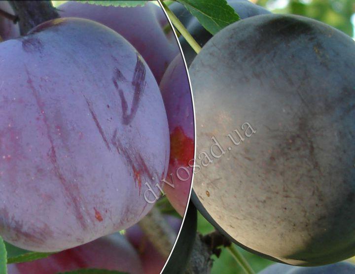 КРУПНОМЕРЫ. Плодовые деревья «Алыча ГЕНЕРАЛ+ОБИЛЬНАЯ, Дерево-сад, 4 года»