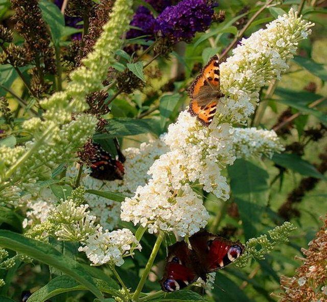 ДЕКОРАТИВНЫЕ растения «БУДДЛЕЯ альбафлора»