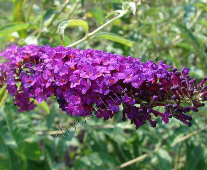 ДЕКОРАТИВНЫЕ растения «БУДДЛЕЯ пурпурная»
