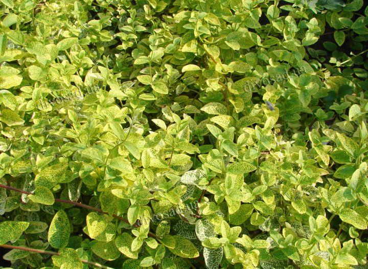 ДЕКОРАТИВНЫЕ растения «ЖИМОЛОСТЬ японская Ауреоретикулата, лиана, 3 года»