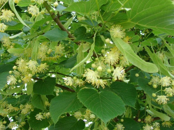 КРУПНОМЕРЫ. Декоративные растения «ЛИПА крупнолистная,  4 года»