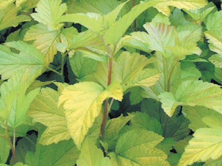 ДЕКОРАТИВНЫЕ растения «ПУЗЫРЕПЛОДНИК ЛЮТЕУС, 2 года»
