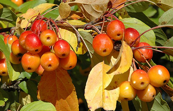 ДЕКОРАТИВНЫЕ растения «Райка ПРОФЕССОР ШПРЕНГЕР, 2 года»