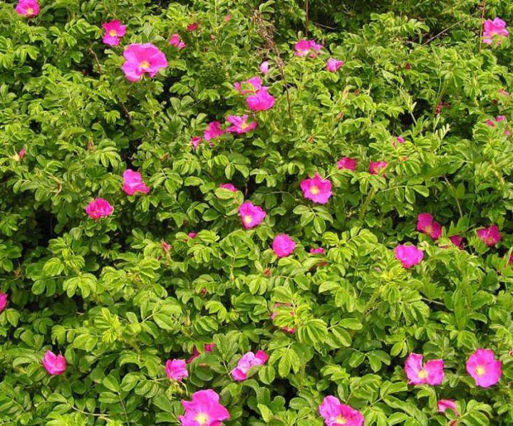 ДЕКОРАТИВНЫЕ растения «РОЗА-РУГОЗА пурпурная, 2 года»