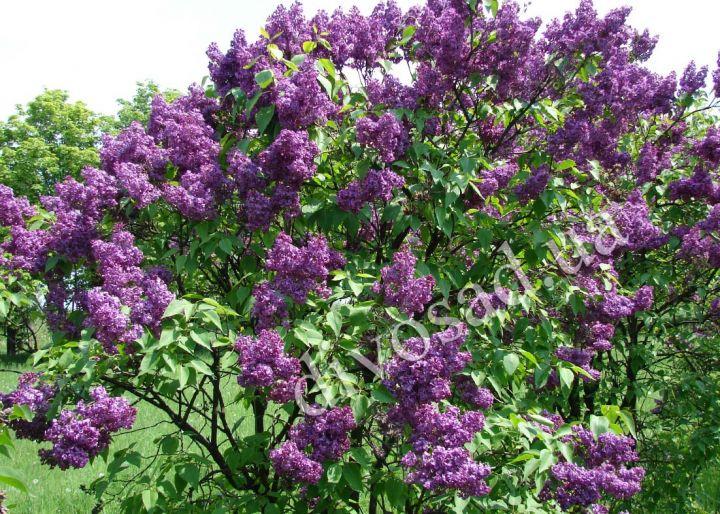 ДЕКОРАТИВНЫЕ растения «СИРЕНЬ фиолетовая»