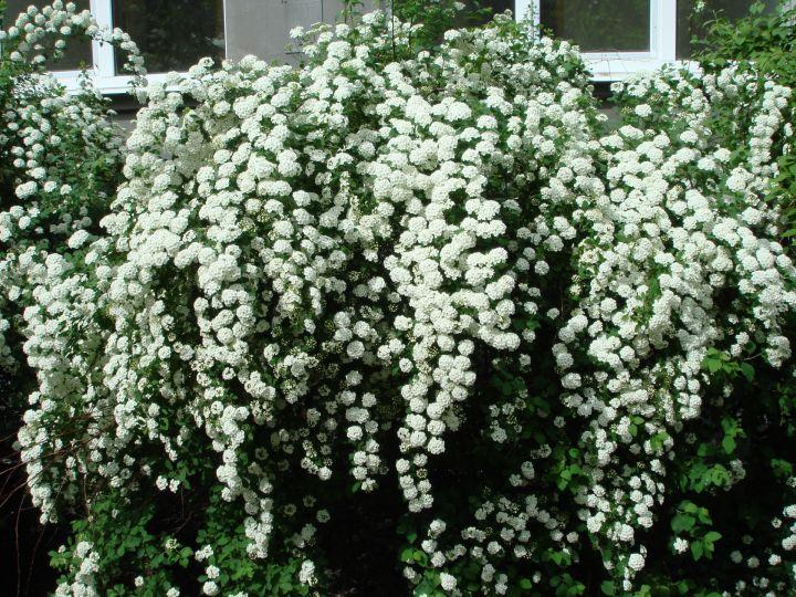 ДЕКОРАТИВНЫЕ растения «СПИРЕЯ ВАНГУТТА, 2 года»