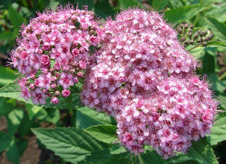 КРУПНОМЕРЫ. Декоративные растения «СПИРЕЯ ЯПОНСКАЯ, 3 года»