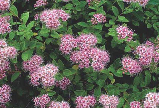ДЕКОРАТИВНЫЕ растения «Спирея японская ЛИТТЛ ПРИНЦЕСС»
