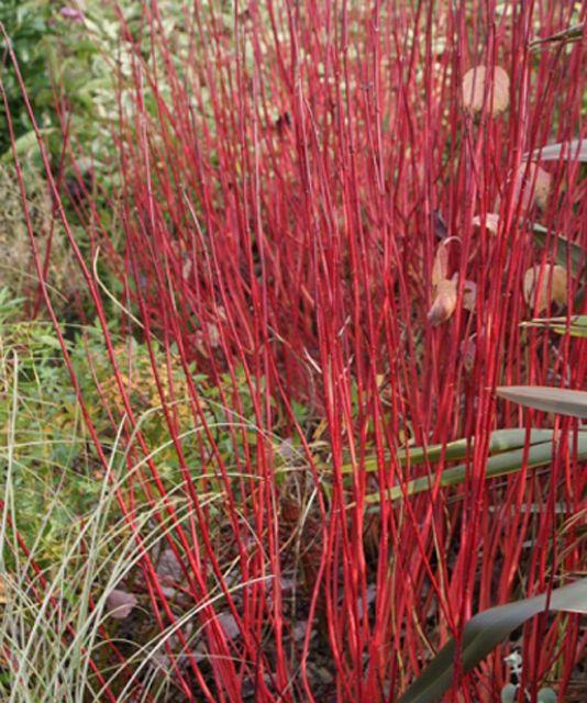 ДЕКОРАТИВНЫЕ растения «Свидина СИБИРИКА, 2 года»