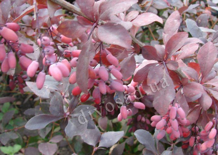 КРУПНОМЕРЫ. Плодовые деревья «БАРБАРИС краснолистный, 4 года»