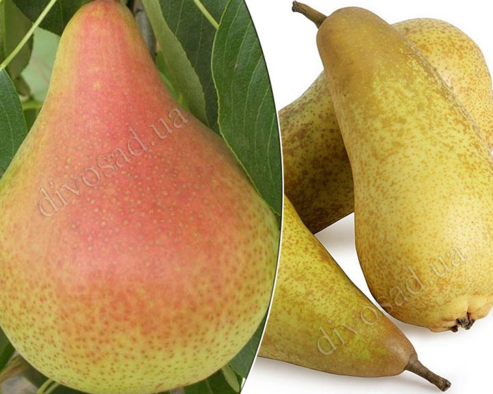КРУПНОМЕРЫ. Плодовые деревья «Груша АББАТ ФЕТЕЛЬ+ОСЕНЬ БУКОВИНЫ, подвой груша, 3 года»