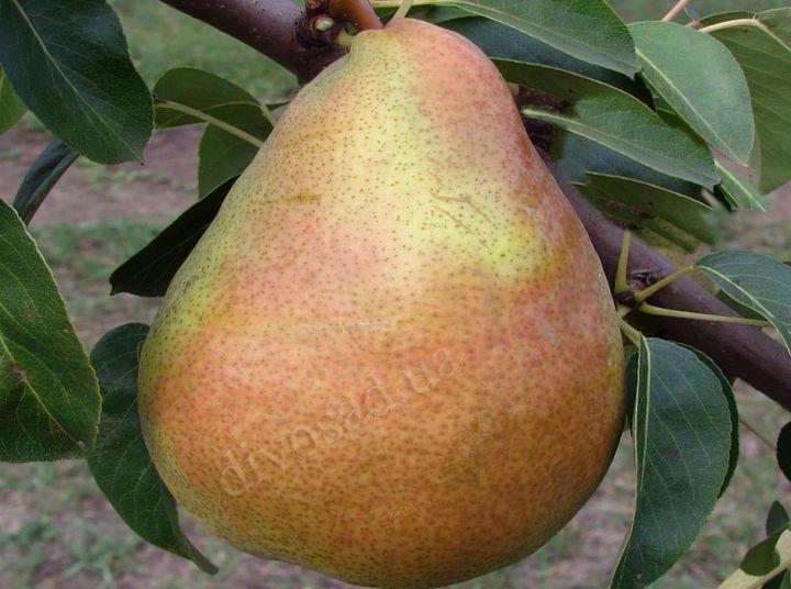 КРУПНОМЕРЫ. Плодовые деревья «Груша АНЖЕЛИС, 3 года»