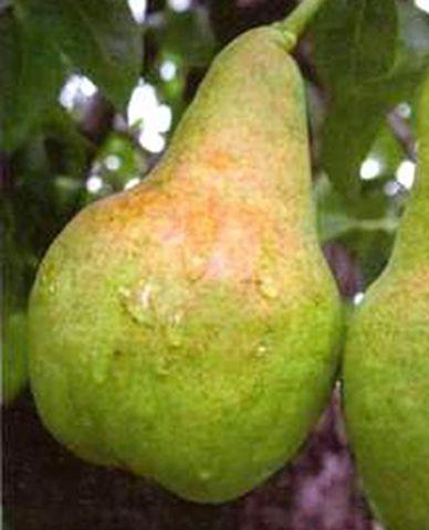КРУПНОМЕРЫ. Плодовые деревья «Груша ИЗОЛЬДА, 3 года»