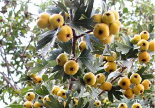 КРУПНОМЕРЫ. Декоративные растения «Боярышник ПОНТИЙСКИЙ, на штамбе»