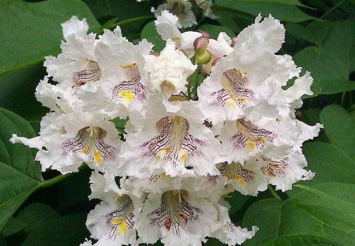 КРУПНОМЕРЫ. Декоративные растения «КАТАЛЬПА  на штамбе, h=1.4 м»