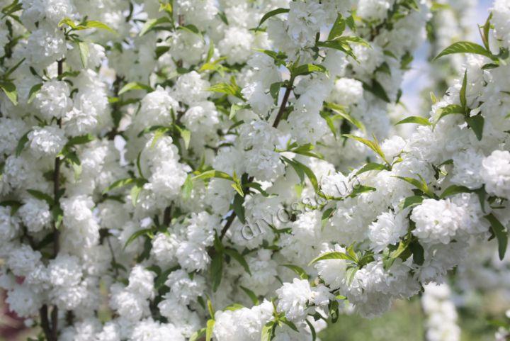 КРУПНОМЕРЫ. Декоративные растения «Вишня железистая АЛЬБА ПЛЕНА, 3 года»